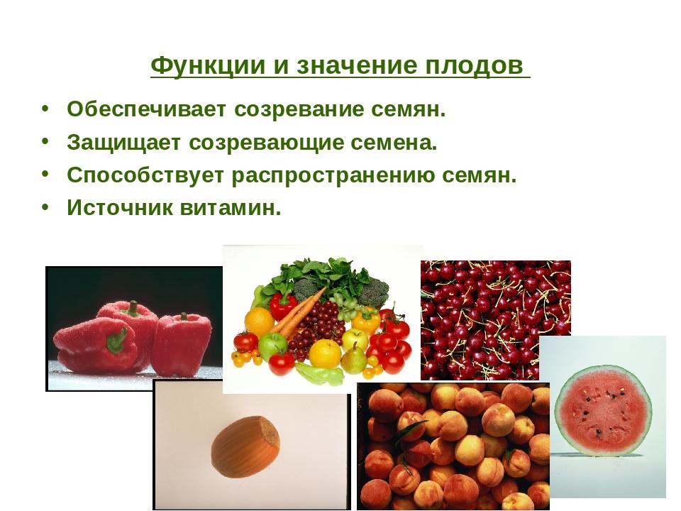 Функции и значение плодов Обеспечивает созревание семян. Защищает созревающие...