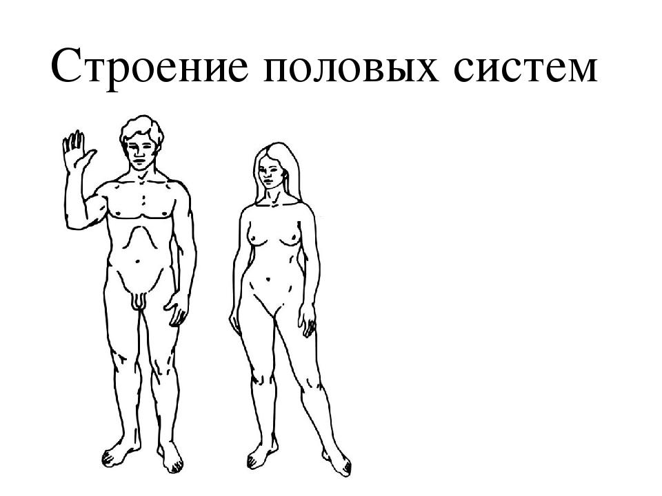 Строение половых систем