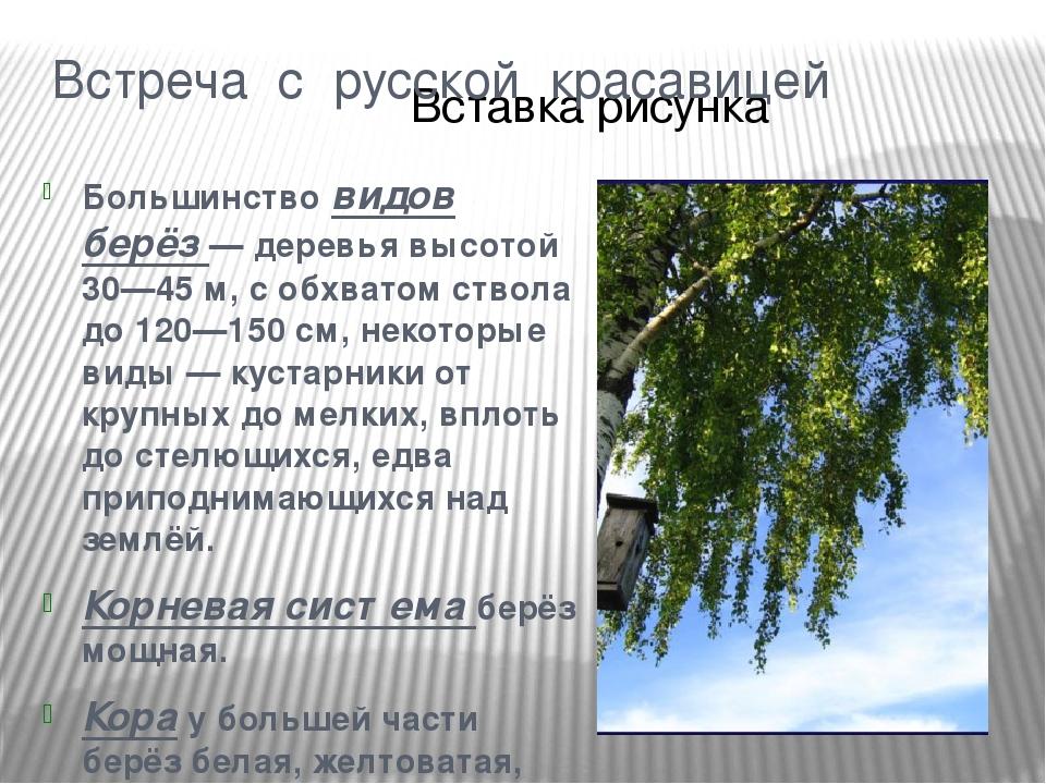 шаровары для дерево береза фото и описание минимальное