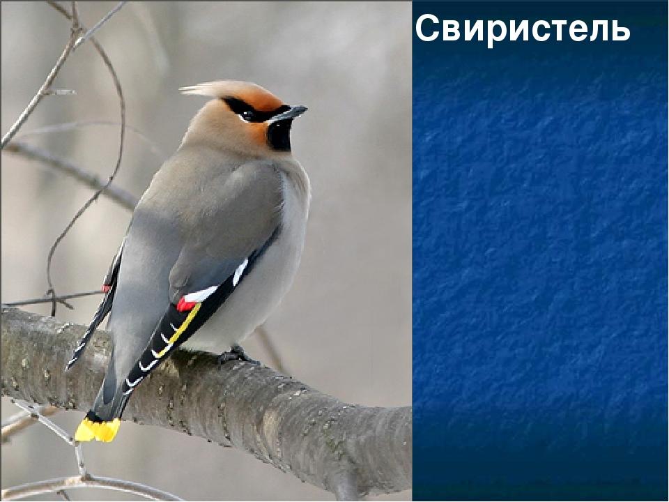 Фото птиц кемеровской области с названием