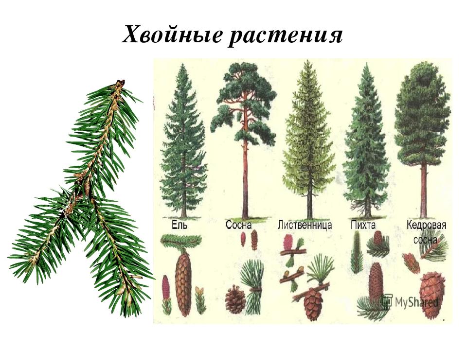 Название хвойных растений с картинками