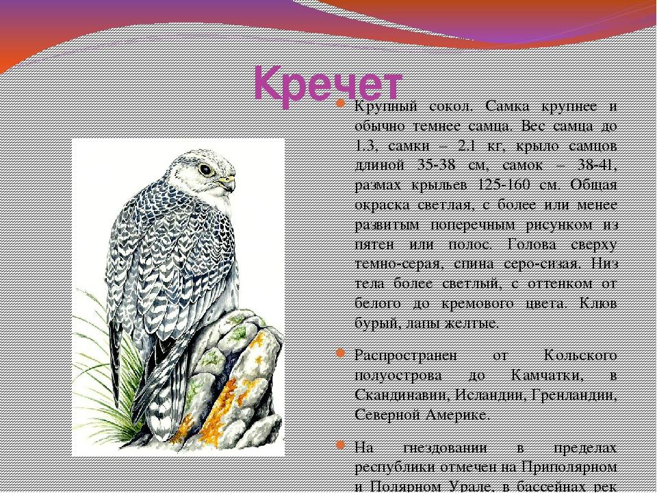 Кречет фото птицы и описание