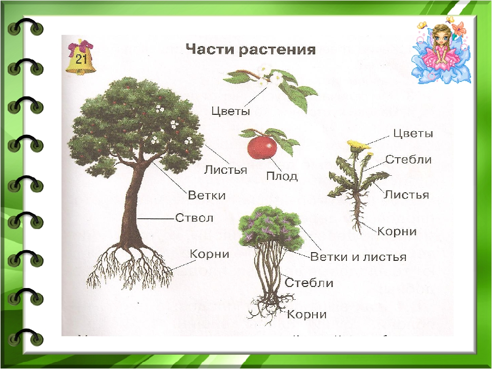 Части ком растения картинки и названия